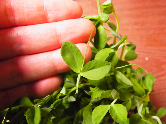 豆苗スプラウト栽培14日目、収穫